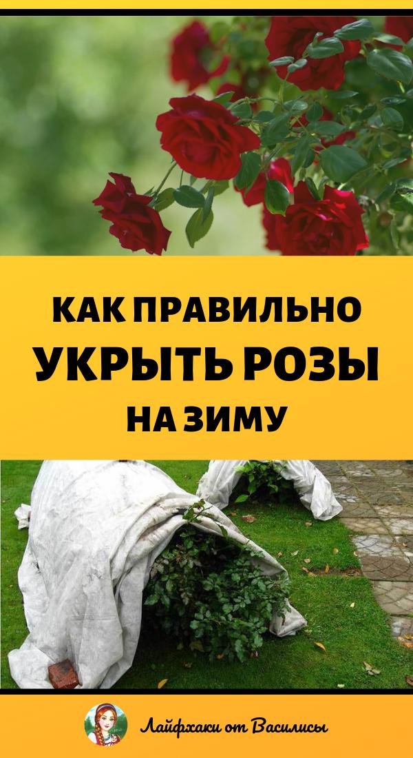 Как правильно укрыть розы на зиму. Дача и сад