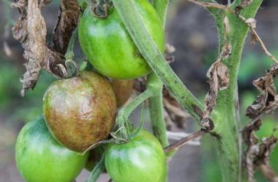 Чем нужно опрыскивать томаты в июне и июле, чтоб сберечь и повысить урожай....