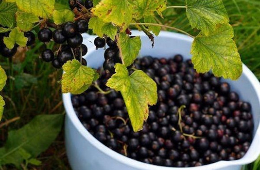 Уход за смородиной после сбора урожая: чем подкормить, как правильно обрезать