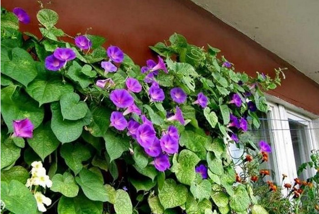 9 лучших быстрорастущих вьющихся цветов для забора, арок и шпалер на даче...