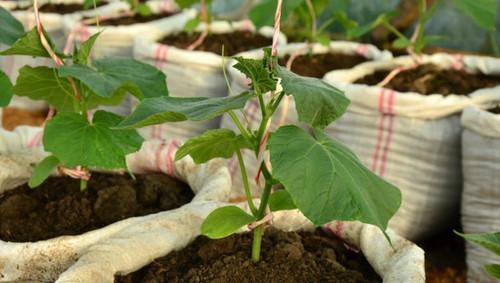 Урожай на 5+: не хлопотное выращивание огурцов в мешках