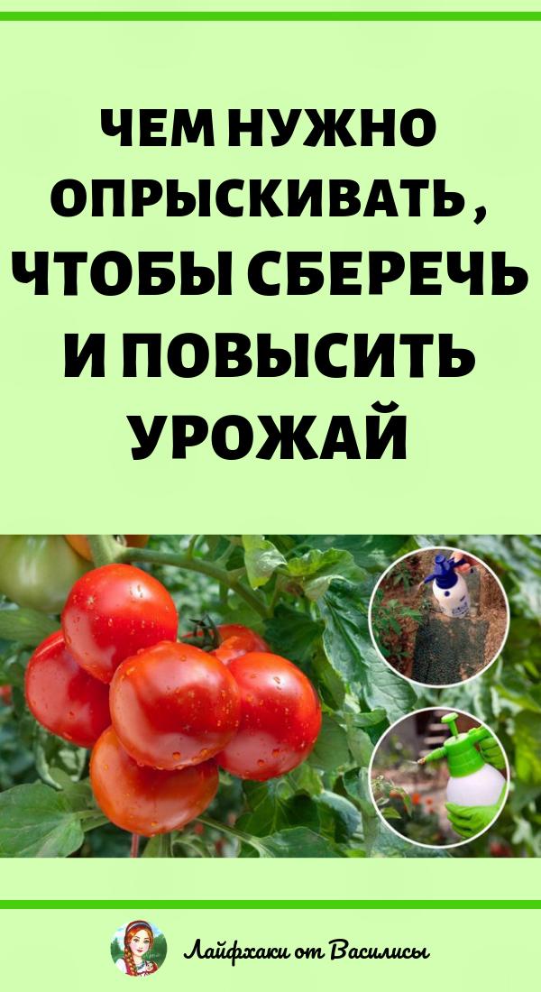Чем нужно опрыскивать томаты в июне и июле, чтоб сберечь и повысить урожай. Дача и огород