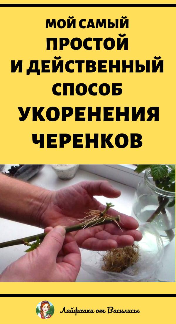 Простой и действенный способ укоренения черенков