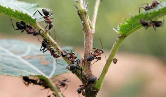 Борьба с муравьями: очень эффективный способ!