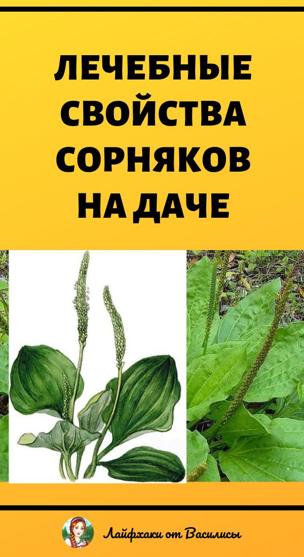 Лечебные свойства подорожника, полезные сорняки на даче, здоровье