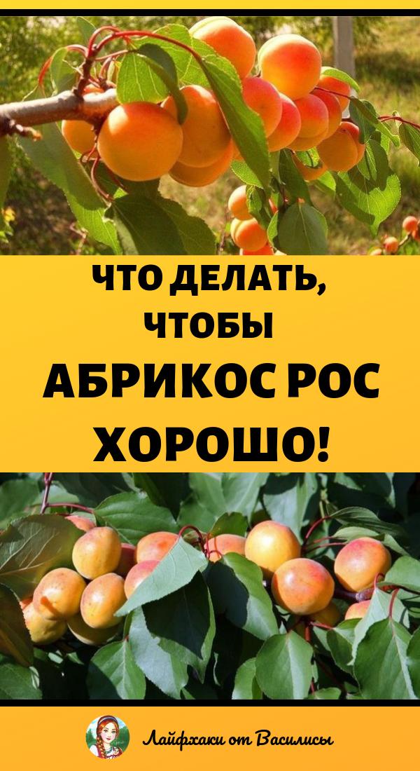 Что делать, чтобы абрикос рос хорошо