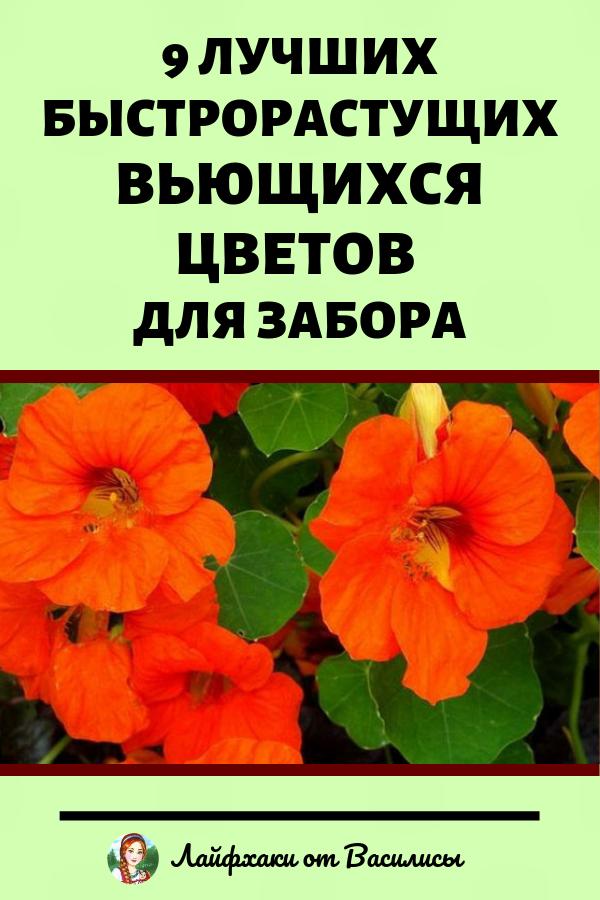 Быстрорастущие вьющиеся цветы для забора. Дача и цветоводство