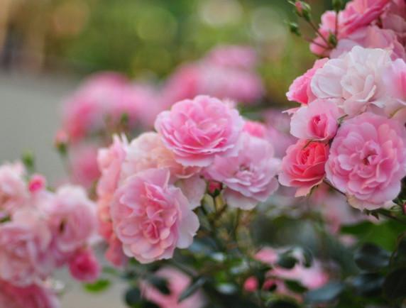 Пять огромных ошибок при выращивании роз...