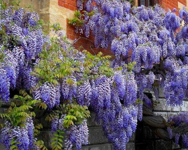 Девять лучших быстрорастущих вьющихся цветов для забора, арок и шпалер на даче...