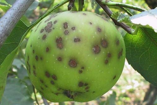 Как предотвратить болезни яблонь. Полезные советы