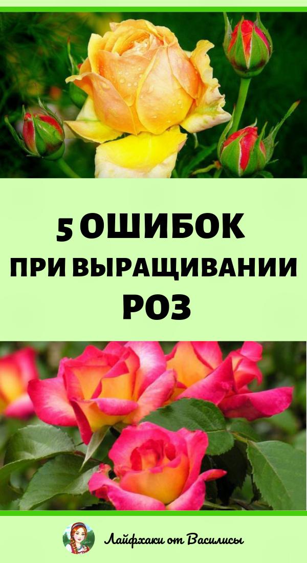 5 ошибок при выращивании роз на даче