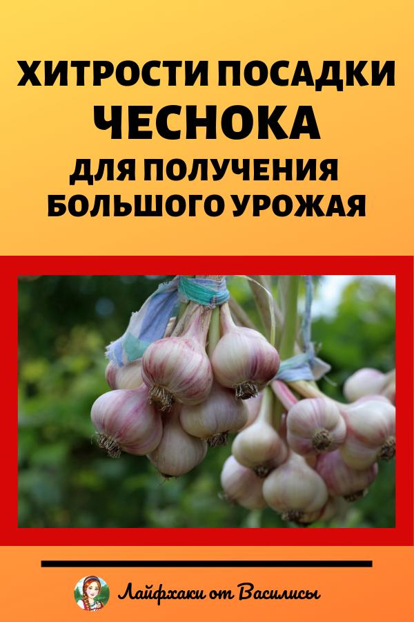 Как посадить чеснок весной правильно на даче для получения большого урожая