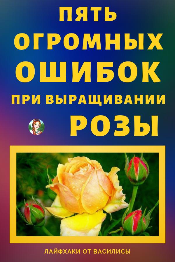 Многие, кто пытался посадить на своем участке розарий, разочаровывались в этих гордых красавицах, потерпев неудачу. Дача, огород, розы своими руками.