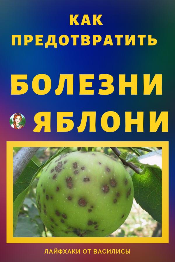 Очень часто сегодня садоводы сталкиваются с проблемой болезни яблок. Очень много урожая можно сказать идут на выброс и все из-за того, что яблоня подхватывает какую-то болезнь, с которой садоводы ничего не делают. Самая распространенная болезнь яблонь — это точечная болезнь или яблочный грибок. Дача и яблони своими руками.