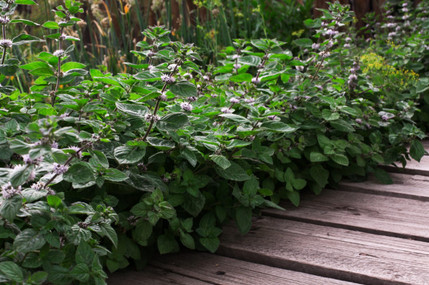 Лечебный бордюр на участке из пряных трав — идеи посадки