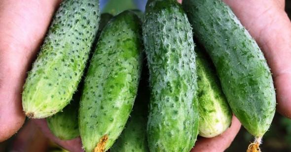 Чем подкормить огурцы во время цветения и плодоношения, чтобы увеличить урожай