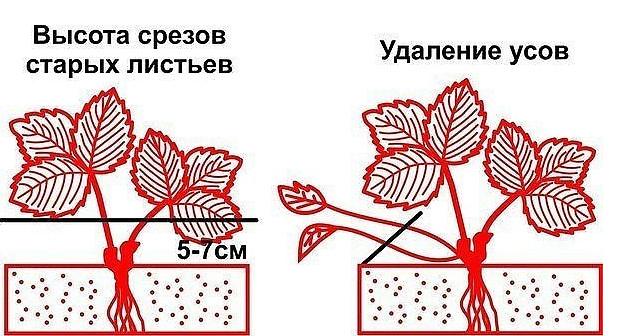 Обрезка листьев клубники: как, когда и зачем?