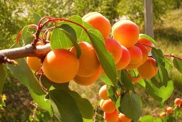 Вот что делать чтобы рос абрикос!